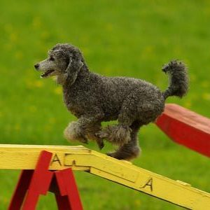 Workshop Agility für Hundetrainer