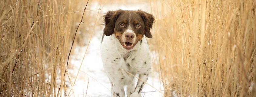 Auslastung für jagende Hunde - Jagdhund rennt durchs Feld