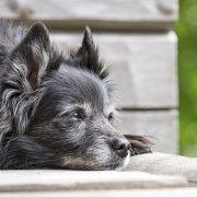 Der Senior Hund: Ist die geriatrische Abteilung schon in Sicht - Vortrag bei Ziemer & Falke