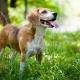 Beagle steht draußen in grüner Natur
