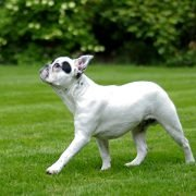Gangbildanalyse frz. Bulldogge