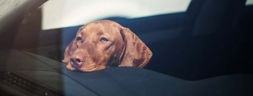 Hund im Auto mit dem Kopf auf dem Armaturenbrett