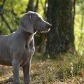 Jagdverhalten beim Hund - Weimaraner im Wald