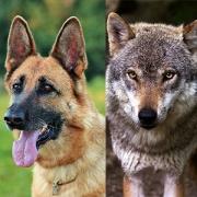 Dr. Feddersen-Petersen: Kognitive Ethologie und Problemlöseverhalten bei Wölfen, Dingos und Haushunden