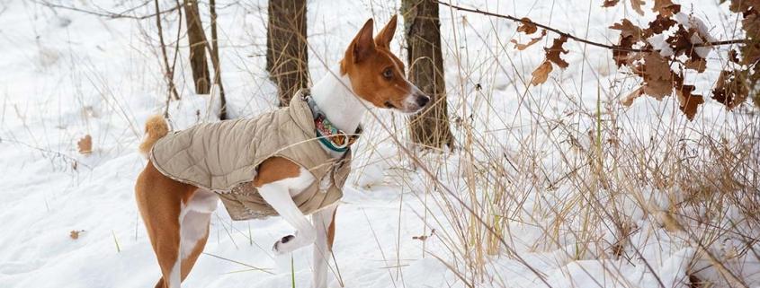 Mantel für Hunde - Basenji mit Mantel im Schnee