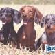 HappyDog: Mehrhundehaltung für Fortgeschrittene-Vortrag
