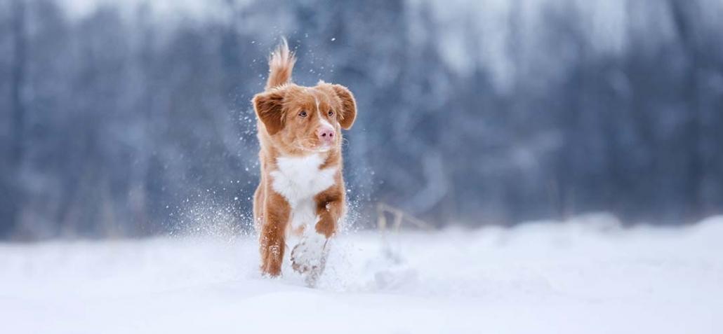 Pfotenbalsam für Hunde - Hund tollt durch Schnee