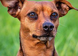 Schilddrüsendysfunktionen bei Hunden: ein Seminar mit Dr. Pasquale Piturru