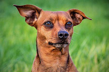 Dr. Piturru über Schilddrüsendysfunktionen bei Hunden