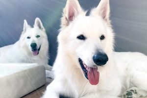 Seminar bei Ziemer & Falke zwei weiße Schäferhunde