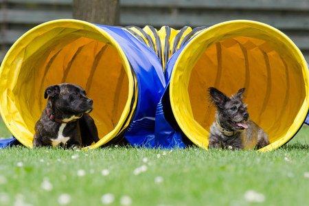 Hunde beim Agility am Tunnel