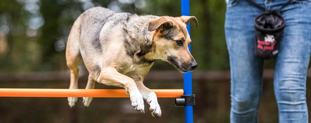 Hund springt im Agility über eine Hürde