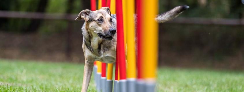 Auslastung Hund - Hund läuft durch Slalom-Parcours