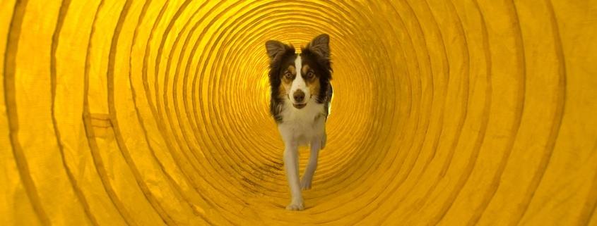 Degility - Hund läuft durch Tunnel
