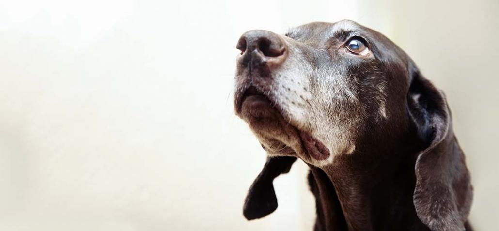 Demenz bei Hunden - ergrauter Hund schaut vergesslich