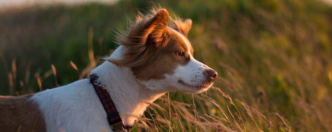 Hund steht in hohem Gras und schaut dem Sonnenuntergang entgegen
