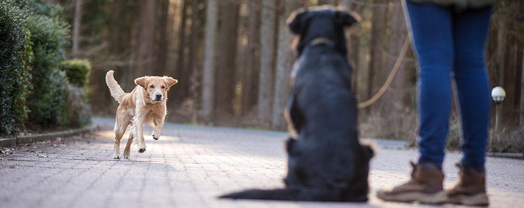 Freilaufender Hund stürmt auf Halter mit angeleintem Hund zu