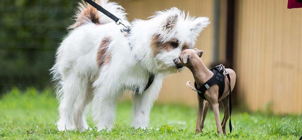 Zwei Hund begegnen sich und lernen sich kennen