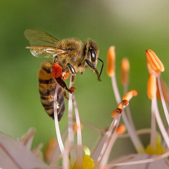 honigbiene-auf-bluete
