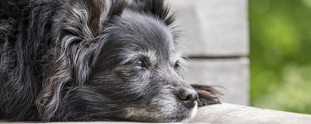 Senioren Hund draußen liegend