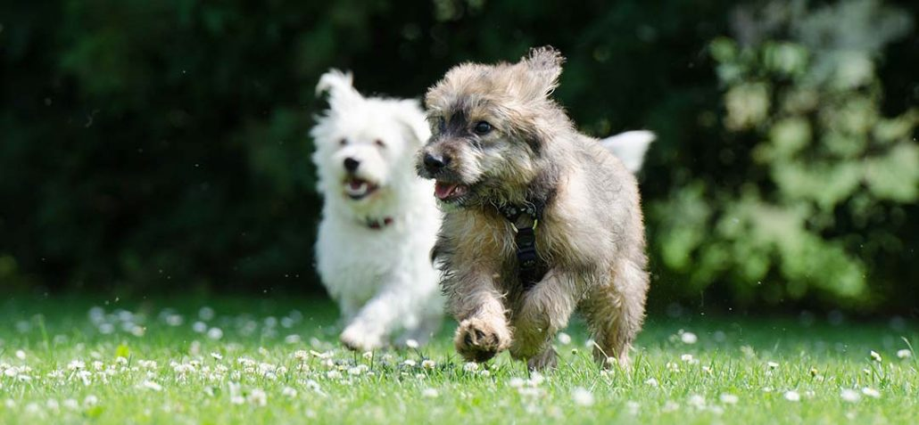 Zwei Junghunde rennen bei Sonnenschein über eine grünende Blumenwiese