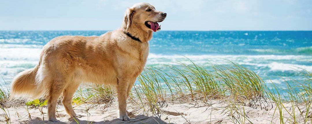Golden Retriever steht auf Sanddüne bei sonnigem Wetter am Meer