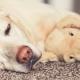 Blonder Labrador schläft mit Plüschtier auf Teppich