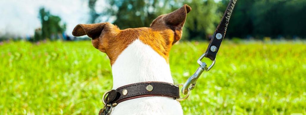 Jack-Russel-Terrier an der Leine im Grünen