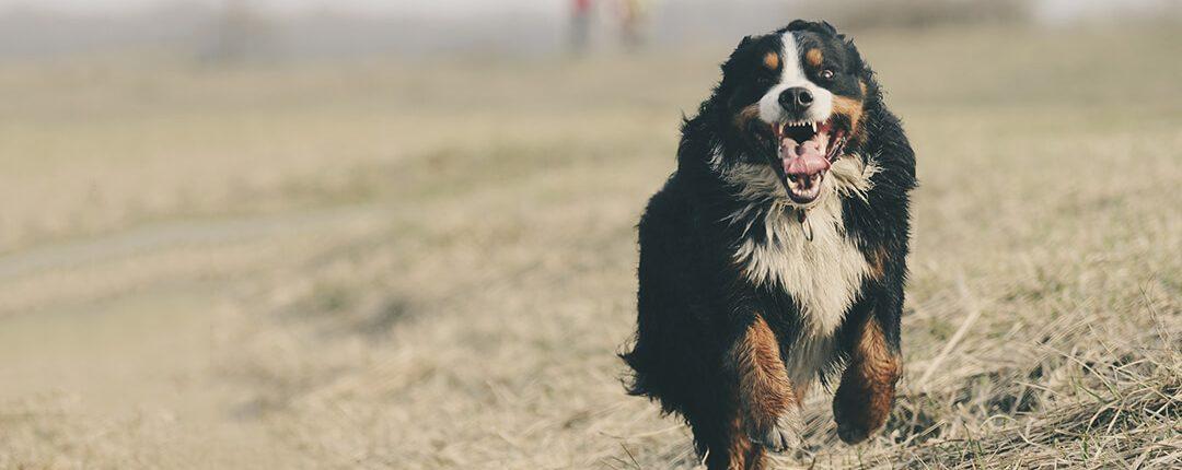 Berner Sennenhund rennt über eine Wiese