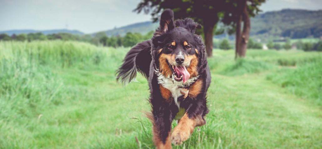 Hund rennt ohne Leine über einen Wiesenweg