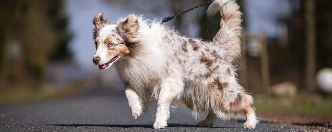 Hund zieht an der Leine auf Straße