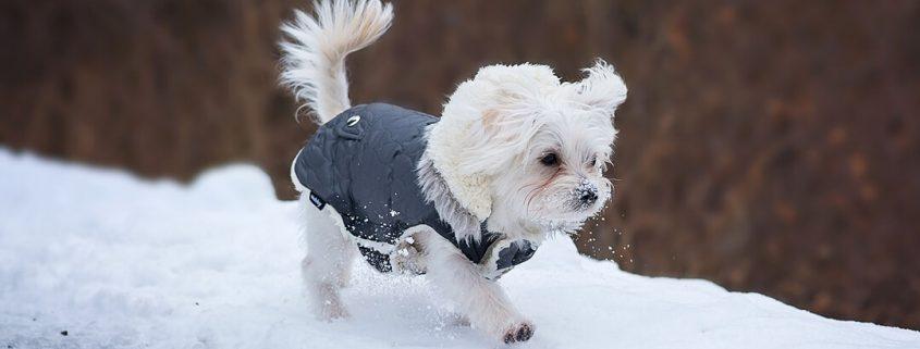 Malteser mit Hundemantel spaziert auf verschneitem Weg