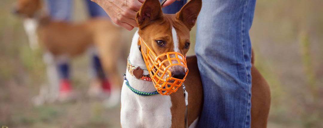 Hundehalter bindet seinem Hund einen Maulkorb um