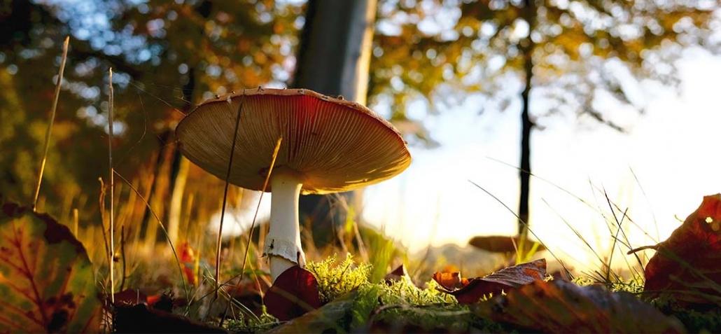 Pilze - Giftiger Fliegenpilz in Herbstsonne