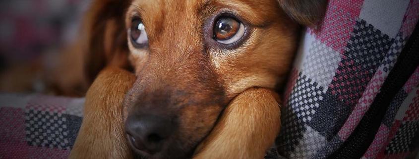 Ängstlich dreinschauender Hund zusammengekauert auf dem Sofa