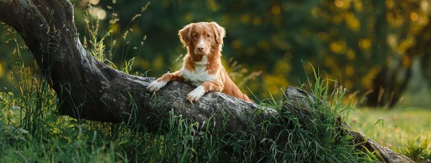 Auslastung des Hundes auf dem Spaziergang - Hund macht Übung auf einem Baumstamm