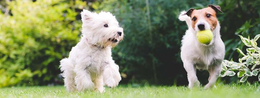 Spielverhalten - Zwei Hund spielen auf der Wiese
