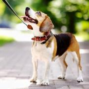 Beagle, angeleint, schaut Halterin an