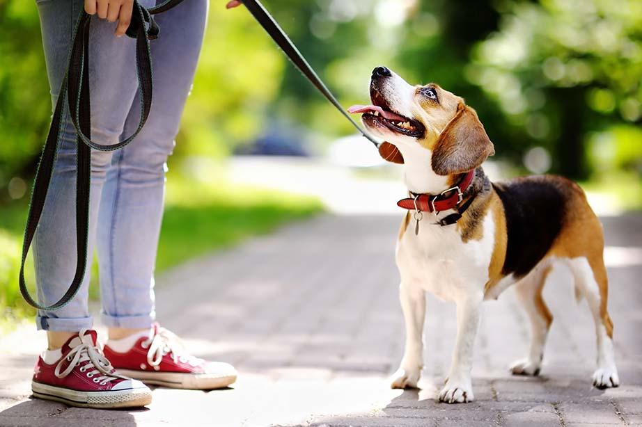 Beagle an Leine schaut seine Halterin an