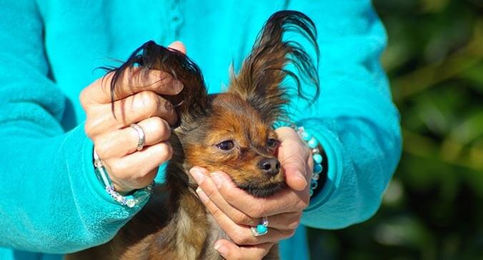 Hände streicheln die Ohren eines Hundes