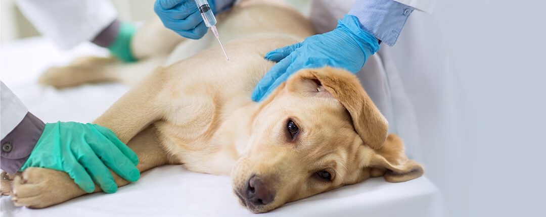 Blonder Labrador auf dem OP-Tisch bekommt eine Impf-Spritze vom Tierarzt