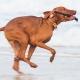 Urlaub mit Hund in Dänemark - Hund spielt mit Stock am Strand