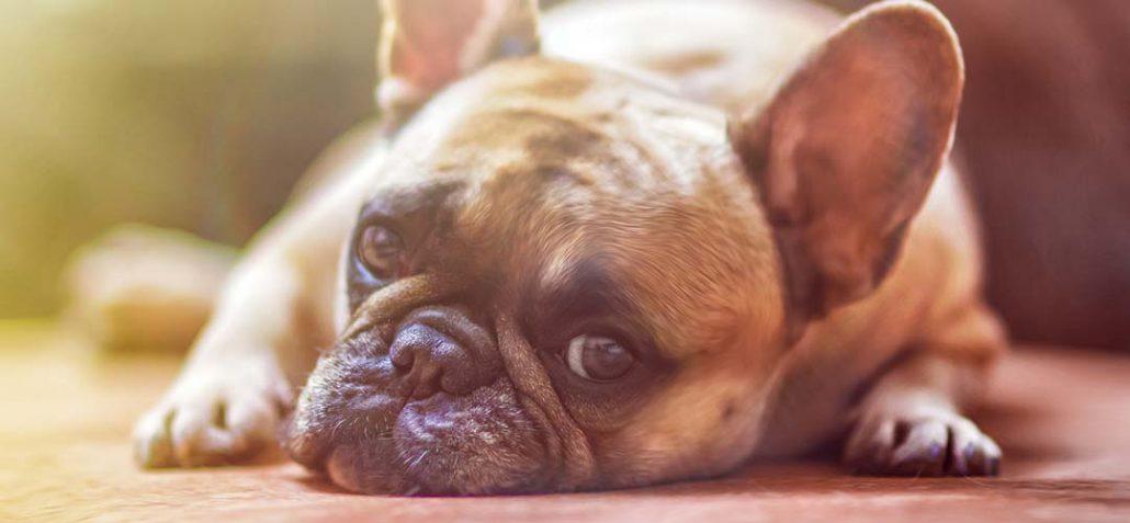 Eine frz. Bulldogge liegt auf Holzboden und schaut den Betrachter an