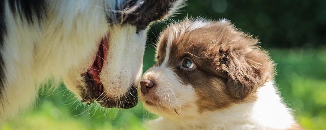 Welpe schaut älteren Hund an