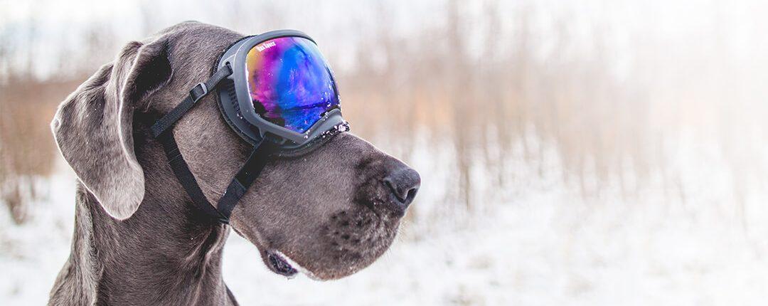 Weimaraner mit Schnee-Schutzbrille