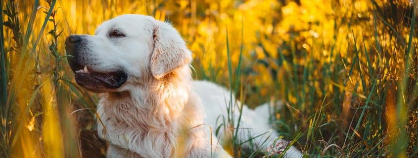Retriever liegt in hohem Gras